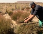 South Africa's rooibos
