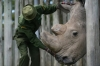 World's last male northern white rhino Sudan improves slightly